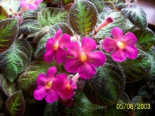 Episcia p walton pink flowers lightly quilted chocolate brown foliage shimmering green midrib photo courtesy of dory lucas mightylinksfo